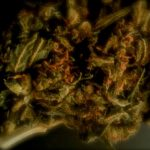 CBD Flower Strain Review: Blue Cheese From The Brain Box Shop