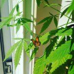 Are Cannabis Terpenes Nature's Perfect Pesticides?