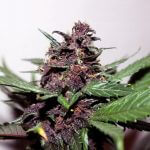 Where To Buy CBD Seeds In The UK (And The 10 Best CBD Strains!)